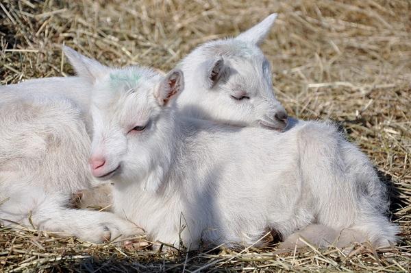 Nästan nyfödda killingar