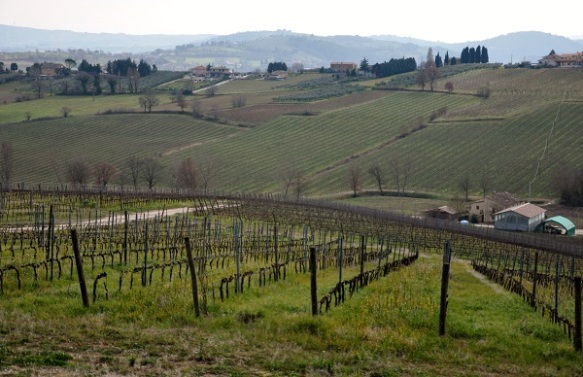 Umbria wineyard