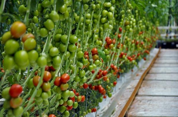 tomat6 (600x397)