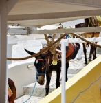 Santorini donkey (586x600)