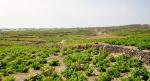 Santorini vine yard (600x324)